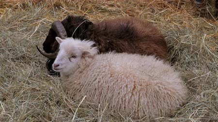 sheepfold : Domestic sheep (Ovis orientalis aries) in the straw, sheepfold