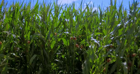 entire frame : Cornfield (Zea mays), Bavaria, Germany, Europe Stock Footage