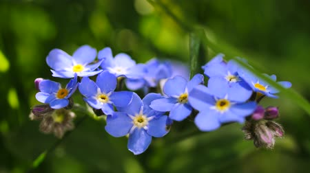 vergeten : Wood Forget-me-not (Myosotis sylvatica) in bloei
