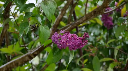 entire : Blossoming lilac bush on a rainy day in the garden