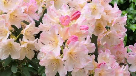 rhododendron : Blooming pink azalea (Rhododendron spp.) Bavaria, Germany, Europe Stock Footage