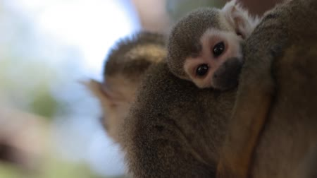 majom : A Baby Squirrel Monkey on the Back of His Mom