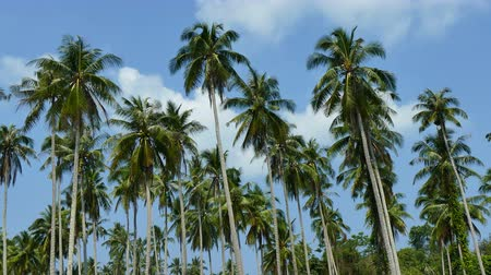 palmeira : Beautiful tropical coconut palm tree on sky background Stock Footage