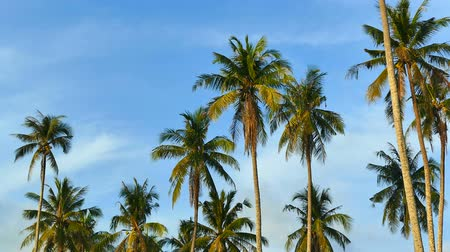 tropical fruit : Beautiful tropical coconut palm tree on sky background Stock Footage