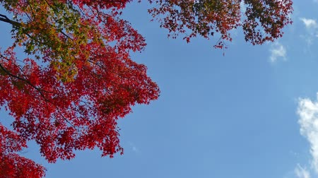 4K Colorful Autumn maple leaves