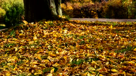 folhas : Falling of Leaves from Tree in Fall
