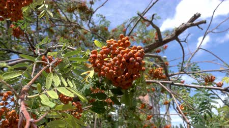 sorbus : Rowan berries, Mountain ash (Sorbus) tree with ripe berry. 4k footage
