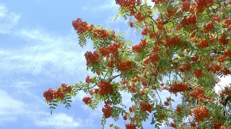 sorbus : Rowan berries, Mountain ash (Sorbus) tree with ripe berry. Blue sky background. 4k footage