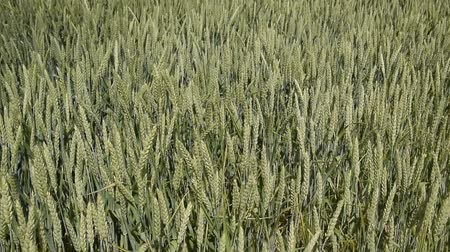 utdoor : Winds of wheat spikes. Spikelets of green wheat. Ripening wheat in the field. Winds of wheat spikes Stock Footage