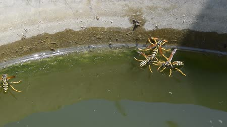 spiky : Wasps drink water from the pan, swim on the surface of the water, do not sink. Stock Footage
