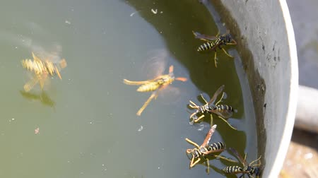 chupar : Wasps Polistes drink water. Wasps drink water from the pan, float on the surface of the water, flying over the water. Stock Footage