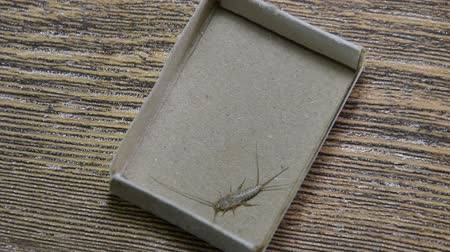 starch : Insect feeding on paper - silverfish. Pest books and newspapers. Lepismatidae, Thermobia domestica.