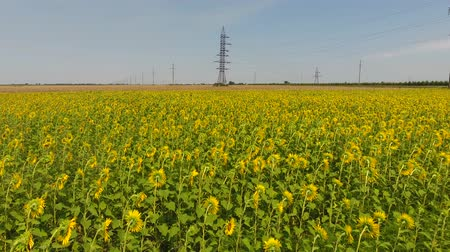 green grass : Field of sunflowers. Aerial view of agricultural fields flowering oilseed. Top view. Stock Footage
