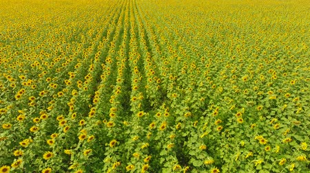 Field of sunflowers. Aerial view of agricultural fields flowering oilseed. Top view. Стоковые видеозаписи