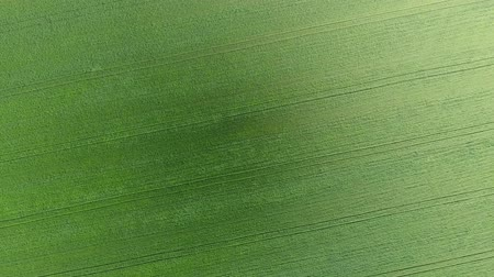 Texture of wheat field. Background of young green wheat on the field. Photo from the drone. Aerial photo of the wheat field. Stock Footage