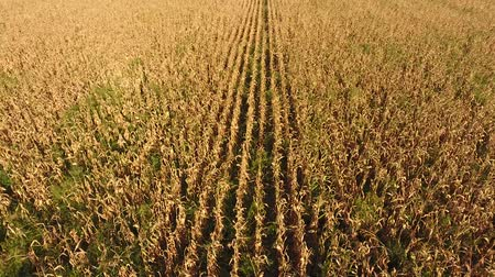 dry stalks : A field of ripe corn. Dry corn stalks. View from above.