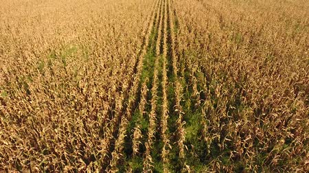 A field of ripe corn. Dry corn stalks. View from above.