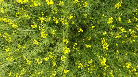 oleaginosa : Field of flowering rape. Top view from the drone. Rape, a syderatic plant with yellow flowers. Field with siderates.