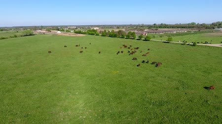 スタッド : Grazing horses on the field. Shooting horses from quadrocopter. Pasture for horses 動画素材