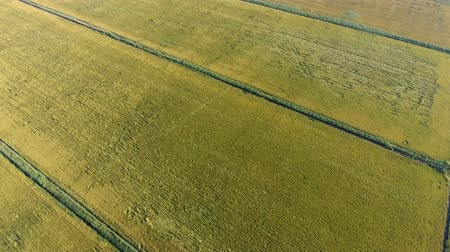 kuban : Growing rice on flooded fields. Ripe rice in the field, the beginning of harvesting. A birds-eye view. Flooded rice paddies. Agronomic methods of growing rice in the fields. Flooding the fields with water in which rice sown. Stock Footage
