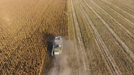 hayran olmak : Harvester harvests corn. Collect corn cobs with the help of a combine harvester. Ripe corn on the field Stok Video