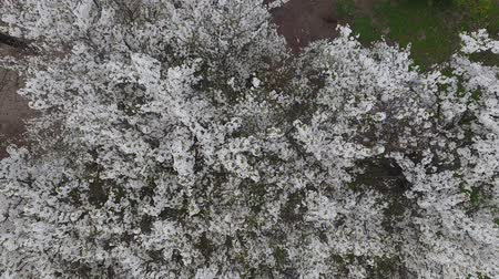 flowers background : Top view of a blossoming plum tree. Stock Footage