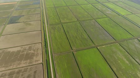 hajtások : The rice fields are flooded with water. Flooded rice paddies. Agronomic methods of growing rice in the fields.