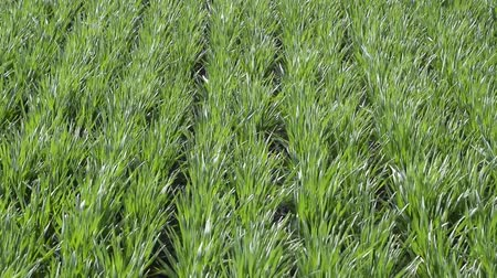 furrow : Young wheat swaying in the wind. Spring winter wheat field. Shoots of wheat in a field on the ground. Cultivation of cereals.