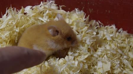 animal paws : Hamster home in keeping in captivity. Hamster in sawdust. Red hamster.