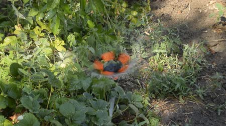 орошение : Watering strawberries with a rotating sprinkler. Watering in the garden