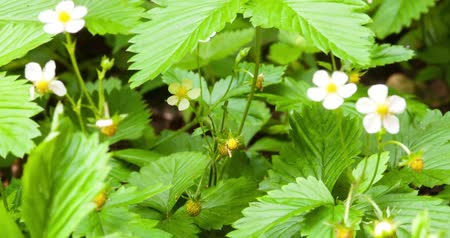 eper : timelapse or unripe wild strawberry at spring with some strawberry flowers and some fruit