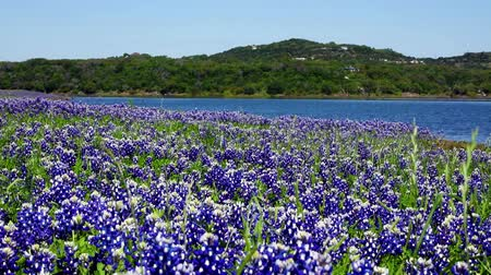 teksas : Beautiful bluebonnets along a lake in the Texas Hill Country. Stok Video
