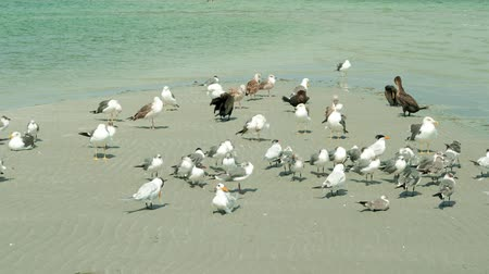 Super high definition video of a flock of seagulls resting and preening feathers on a sandbar near the shoreline of a Miami Beach.