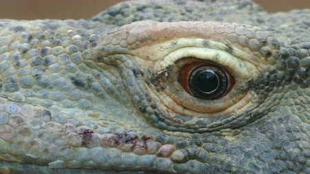 ящерица : Close-up of the eye of a Komodo Dragon. (VARANUS KOMODOENSIS). moves the eye and looks at you. Стоковые видеозаписи
