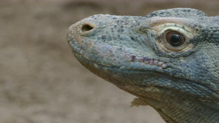 ящерица : Close-up of the head of a Komodo Dragon. (VARANUS KOMODOENSIS). moves his head and looks at you.