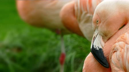chilean flamingo : Flamingo Chilean (Phoenicopterus chilensis). Close-up on head of Flamingo Chilean looking at you, with blurry background. Stock Footage