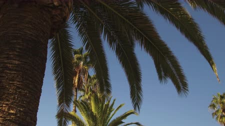 low angle shot : Palm trees and blue sky a sunny day. Low angle view of palm tree with camera movement: Tracking Shot left. Stock Footage