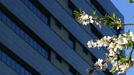 sustainable resources : Modern sustainable city in spring, with a closeup of the branch of a flowering tree moved by the breeze and a building in the background.