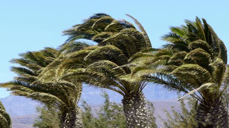 typhoon : Three palm trees moved violently by a gale.