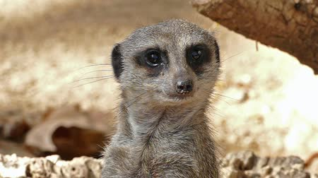 alerta : Portrait of vigilant meerkat (Suricata suricatta). SLOW Motion. Close-up of a meerkat watching of all directions upright and looking directly at you. Stock Footage