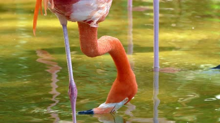 ekosistem : American Flamingo (Phoenicopterus ruber). Close-up of American Flamingo (Phoenicopterus ruber) moving the beak over the surface of the water like a filter to feed.