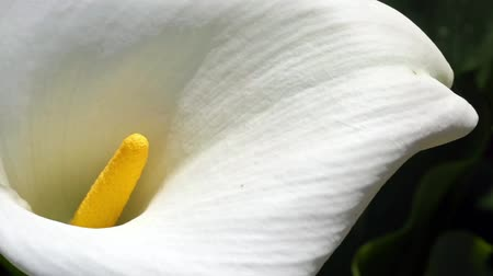 lelie : Calla Lily detail, bewogen door de wind. Macro. Bovenaanzicht Stockvideo