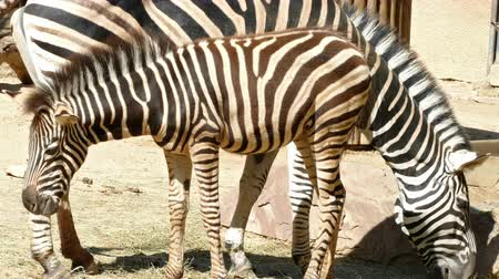 they : Chapmans zebras (Equus quagga chapmani). zebra breeding that is protected next to her mother while the two are eating, making a visual effect with stripes of skin. Stock Footage