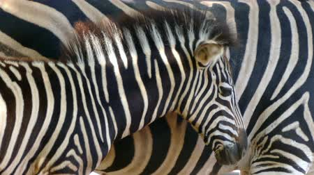 they : Breeding Chapmans zebra (Equus quagga chapmani). Close-up of head of breeding zebra is protected with his mothers tail so that he frightens the flies, making a visual effect with stripes of skin.