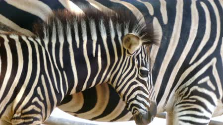 they : Breeding Chapmans zebra (Equus quagga chapmani). Close-up of head of breeding zebra is protected with his mother, making a visual effect with stripes of skin, and passes in front of another zebra. Stock Footage