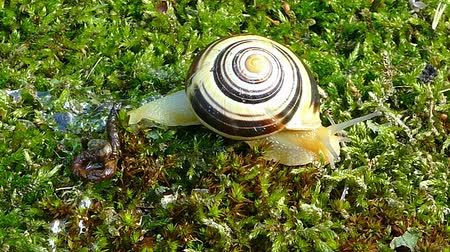 banded : White-lipped snail or garden banded snail (Cepaea hortensis). A snail slowly moving fast to the right on the moss.Time Lapse Stock Footage