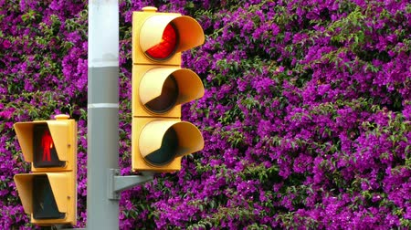 udržitelnost : Sustainable city. Close-up of traffic light, with all changes of light, on a background of a full wall of magenta flowers.