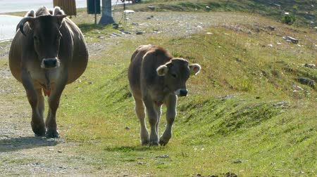 they : Calf and his mother walking towards the camera. The little one stops to eat and the mother passes by the side and pushes it.
