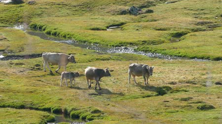 buzağı : Cows walking peacefully and in freedom, in a beautiful landscape of a plain with a brook, a sunny summer day. Stok Video