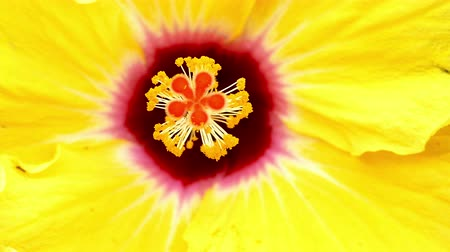 hibiscus : Hibiscus detail, moved by the breeze. Macro. Top view Stock Footage